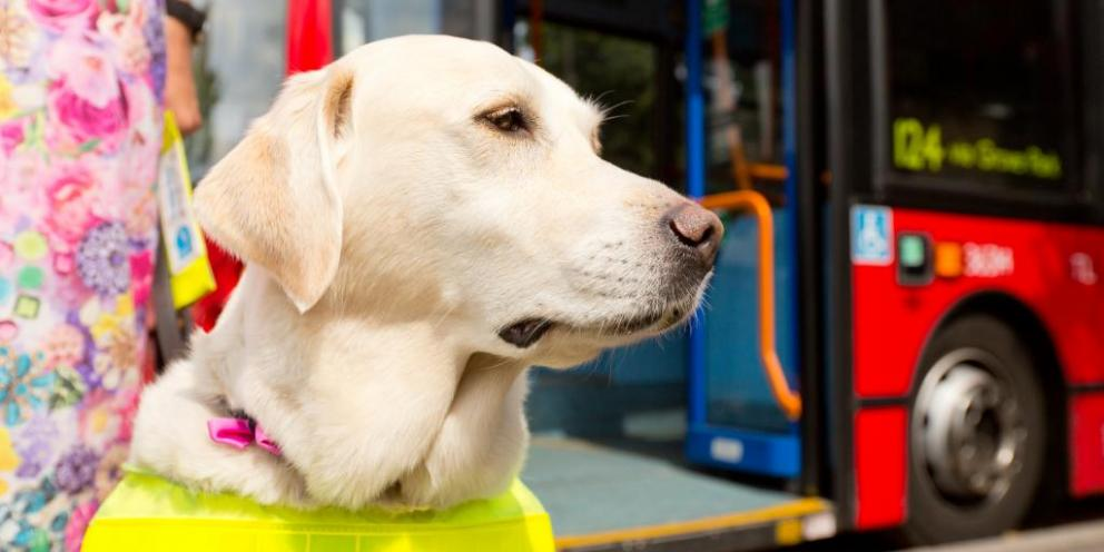 Guide dog in front of a bus