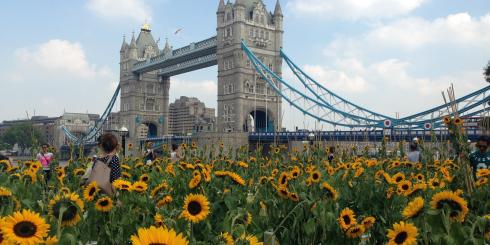 Sunflowers Tower Bridge